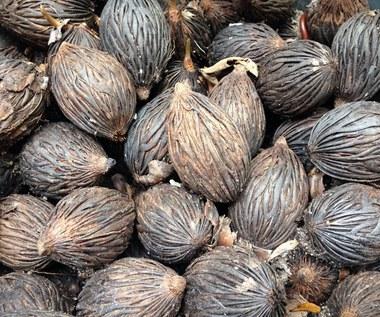 Palma sabałowa: Naturalny lek na potencję i afrodyzjak