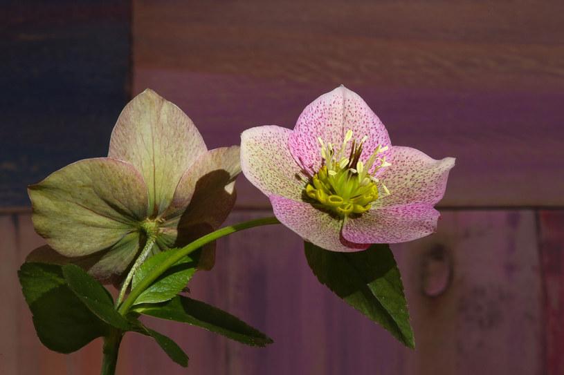 Pamiętajmy, że ciemiernik to roślina trująca! Nie mogą mieć do niej dostępu domowe zwierzęta /123RF/PICSEL
