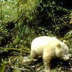 Panda albinos uchwycona przez leśną foto-pułapkę