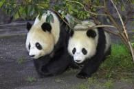 Panda może się już uśmiechać... /AFP