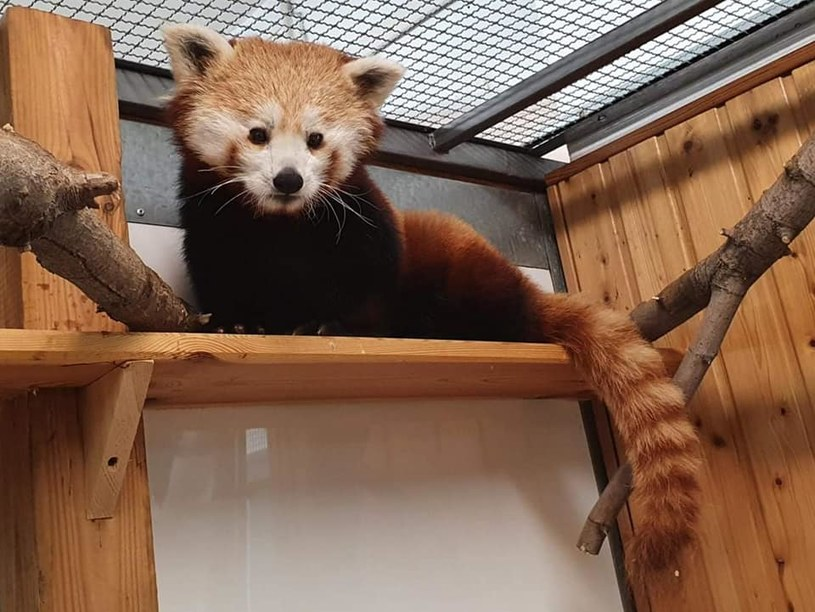Panda ruda - nowa mieszkanka zoo, źródło: Warszawskie ZOO /