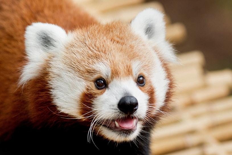 Panda ruda, zdj. ilustracyjne /Neil Blake /The Grand Rapids Press via AP /East News