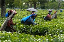 Pandemia szaleje w Indiach. Jesienią może podrożeć herbata