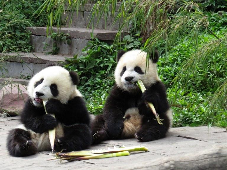 Pandy przeżyły trzęsienie ziemi /AFP