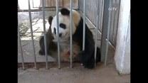 Pandy też nie lubią upałów...
