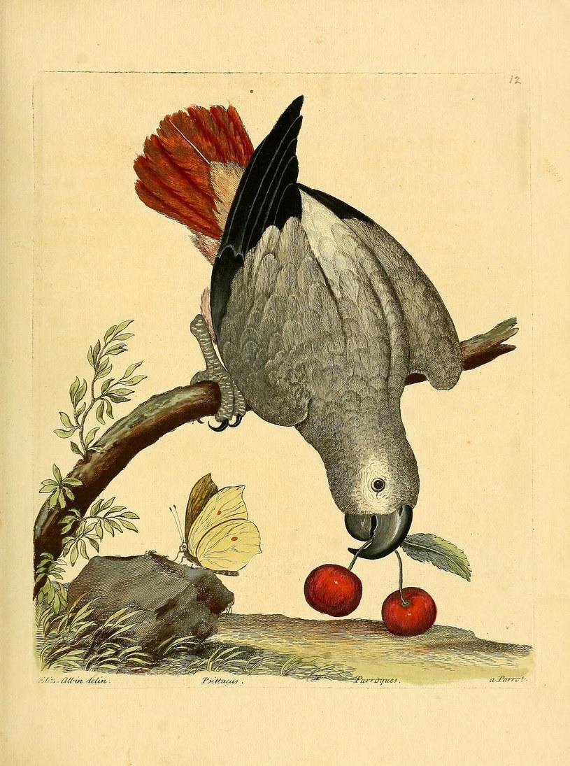 Papuga Żako /Biodiversity Heritage Library /INTERIA.PL
