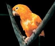 Papuga złota /Encyklopedia Internautica