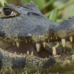 Papugi handlują narkotykami, krokodyle wymuszają haracz