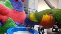 Papużka uwielbia się przytulać do swojej zabawki
