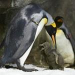 Para pingwinów gejów chciała zostać ojcami. Porwali pisklę