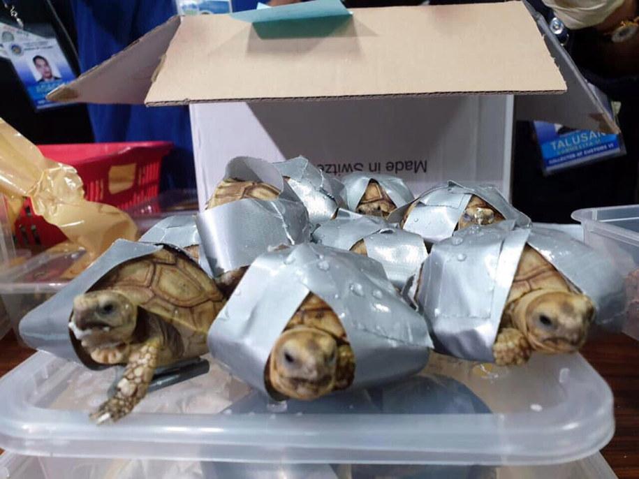 Pasażer próbował przemycić w walizkach ponad półtora tysiąca żółwi /Bureau of Customs NAIA /PAP/EPA