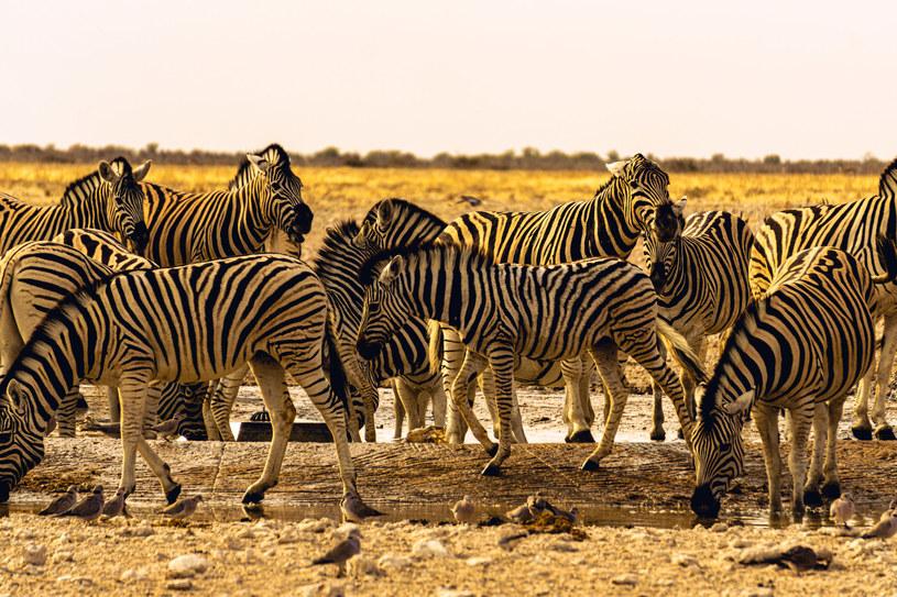 Paski zebry pełnią wiele ważnych funkcji, m.in. odstraszają owady /123RF/PICSEL
