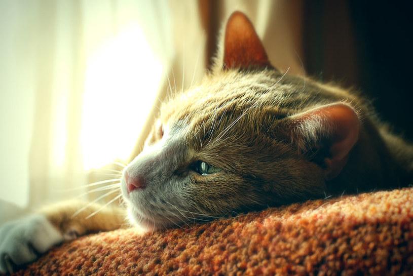 Pasożyty mogą bardzo zaszkodzić kotom /123RF/PICSEL
