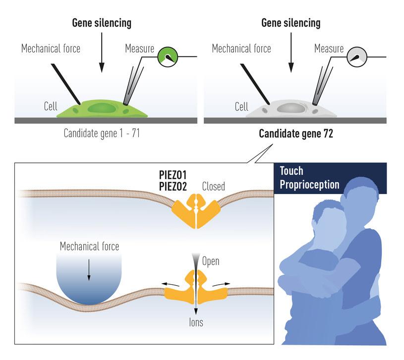 Patapoutian użył hodowanych komórek mechanowrażliwych do identyfikacji jonu kanał aktywowany siłą mechaniczną. Po żmudnej pracy Piezo1 był zidentyfikowane. Na podstawie podobieństwa do Piezo1 znaleziono drugi kanał jonowy - Piezo2 /materiały prasowe