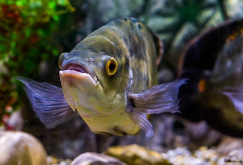 Patrzenie na pływające w akwarium ryby uspokaja /123RF/PICSEL