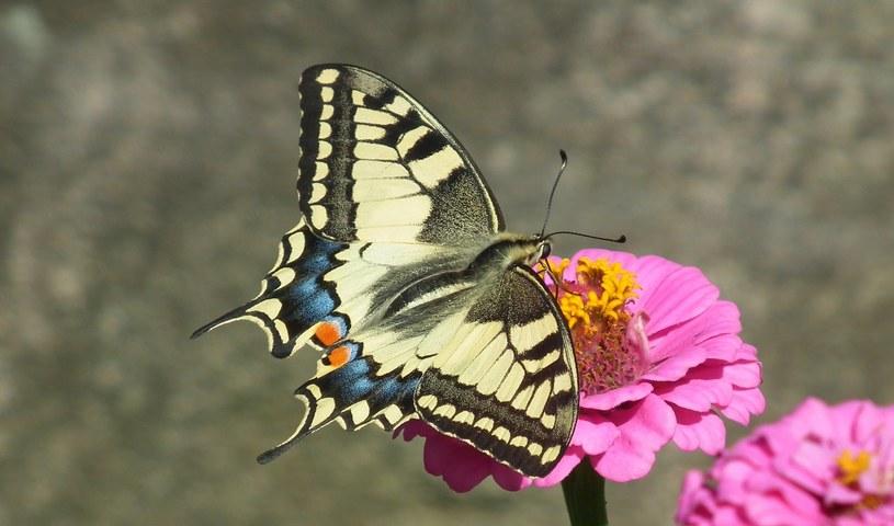 Paź królowej /pixabay.com