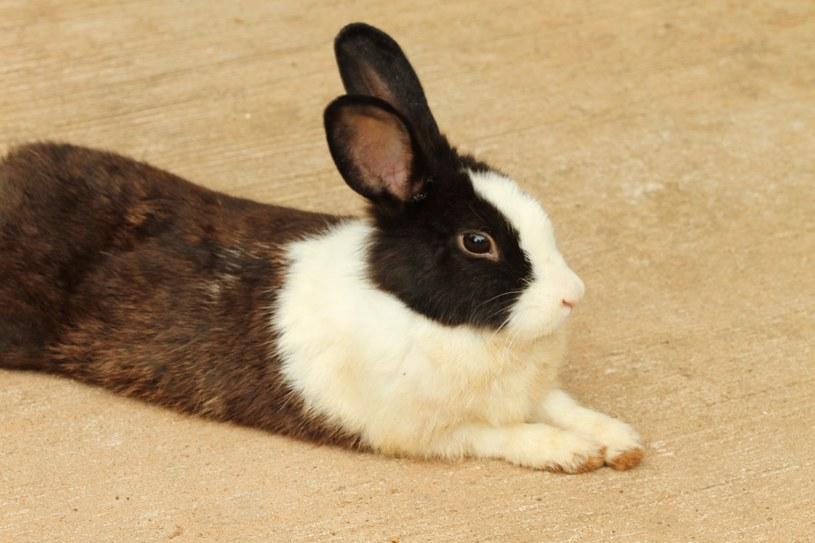 Pchły u królika? Skonsultuj się z weterynarzem /123RF/PICSEL