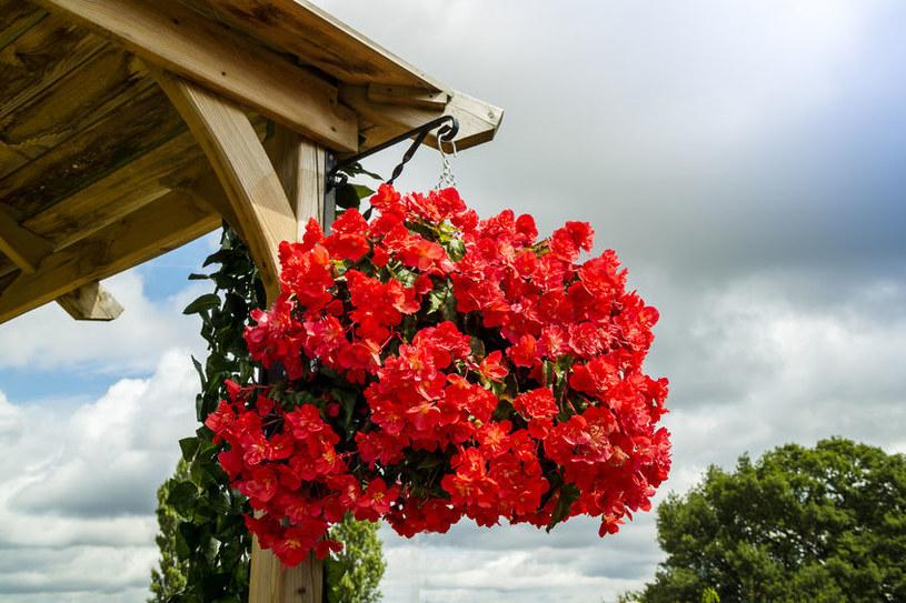 Pelargonia balkonowa /©123RF/PICSEL