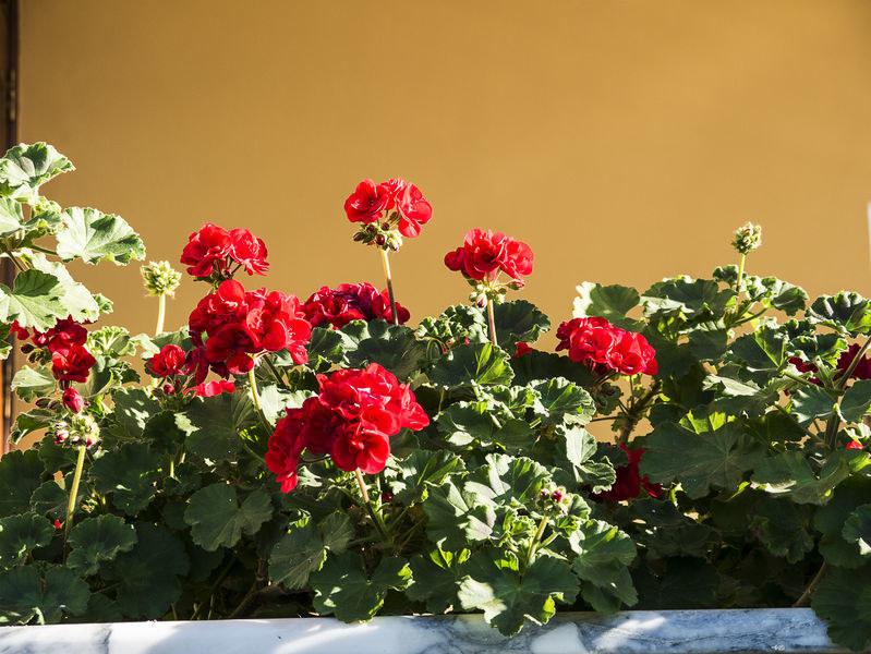 Pelargonie na tarasie czy balkonie mogą zniechęcić szerszenie /123RF/PICSEL