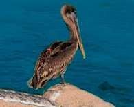 Pelikan z Galápagos /Encyklopedia Internautica
