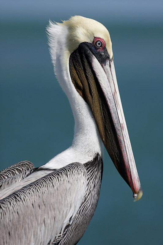 Pelikany to niemal stały element krajobrazu karaibskich plaż /© Panthermedia