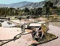 Pendżab, pole ryżowe na północ od Rawalpindi /Encyklopedia Internautica