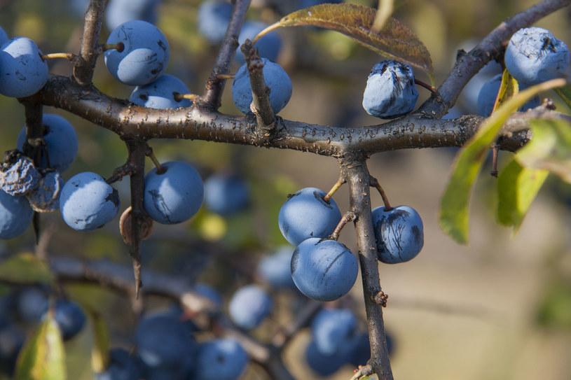 Pestki owoców tarniny są trujące i zjedzenie nawet małej ilości powoduje zatrucia /123RF/PICSEL