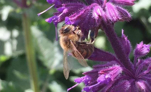 Pestycydy odbierają pszczołom pamięć