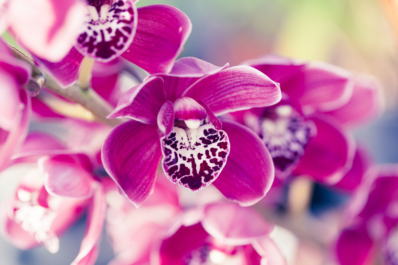 Phalaenopsis - po skończeniu kwitnienia nie obcinamy pędu, o ile sam nie uschnie /123RF/PICSEL