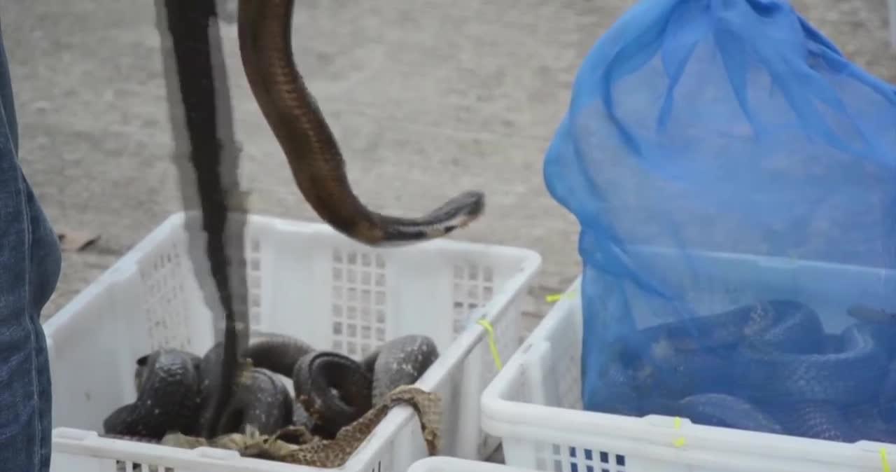 Pickup był pełen węży i jaszczurek. Celnicy złapali przemytnika