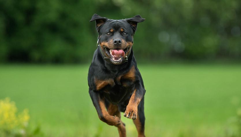 Pięć ras psów dla zaawansowanych