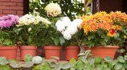 Pięć sposobów na balkonowe jesienne kwiaty