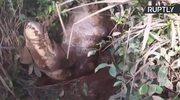 Pięciometrowy krokodyl odpoczywał na plantacji herbaty na Sri Lance