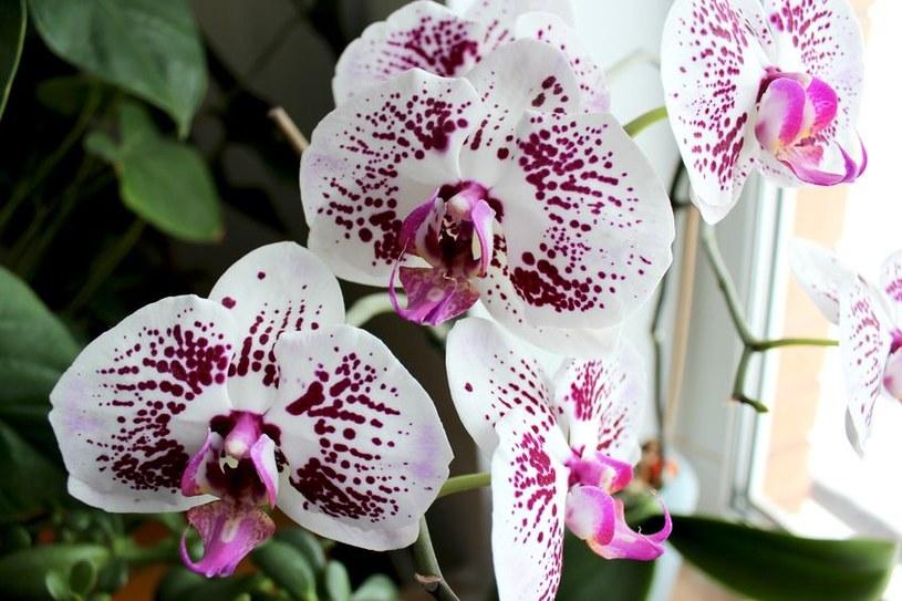Piękne kwiaty są ozdobą domu. Storczyki to obecnie najmodniejsze z nich! /123RF/PICSEL