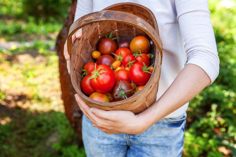 Piękne pomidory prosto z działki? Zasadź w ich pobliżu czosnek! /123RF/PICSEL