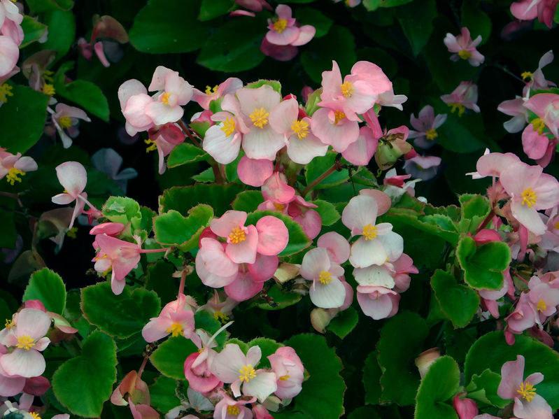 Pielęgnacja begonii /©123RF/PICSEL