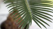 Pielęgnacja palm