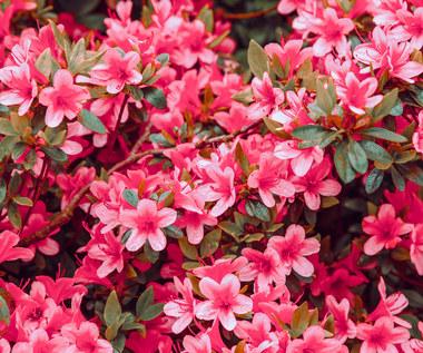 Pielęgnacja rododendronów po przekwitnięciu