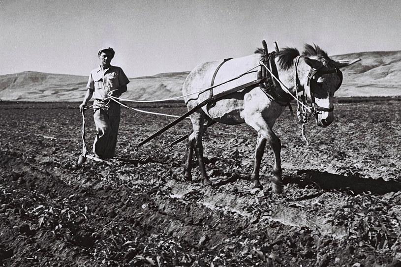 Pierwsze kibuce tworzyli polscy i rosyjscy Żydzi, inteligenci nienawykli do ciężkiej pracy fizycznej, a taka czekała na pierwszych kibucników /Getty Images