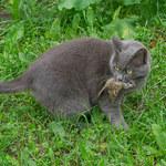 Pierwsze koty na polskich ziemiach - co o nich wiemy?
