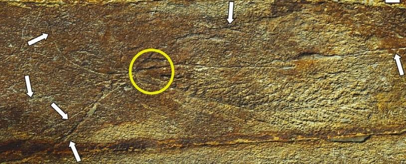 Pierwsze zwierzęta na Ziemi mogły tworzyć rozbudowane sieci /materiały prasowe