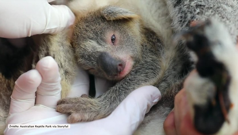 Pierwszy koala przyszedł na świat w Australian Reptile Park po dewastujących pożarach