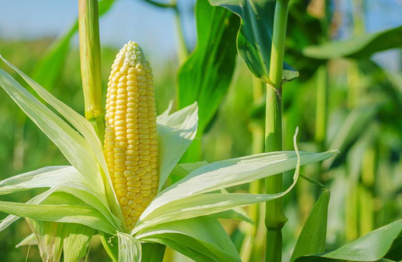 Pierwszy krok do sukcesu w gotowaniu kukurydzy to wybór odpowiedniej kolby