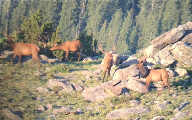 Pierwszy ujęcie jelenia /Colorado Parks & Wildlife /
