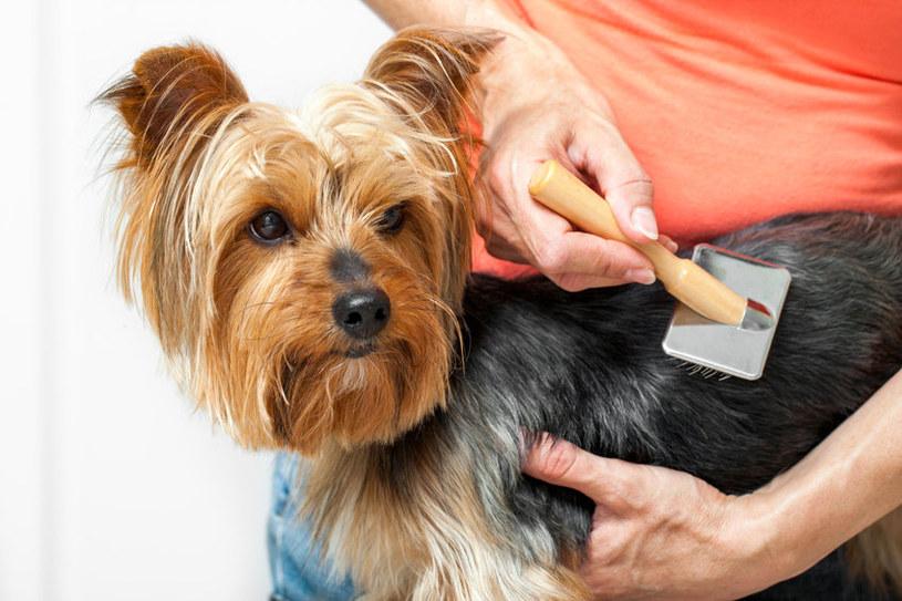 Pierwszym etapem strzyżenia psa jest kąpiel i rozczesanie sierści /123RF/PICSEL