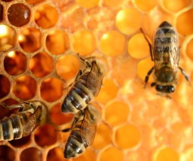 Pierzga pszczela: Sekret zdrowia i dobrego nastroju