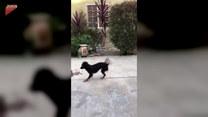 Pies bawi się z butem. Uniósł go w powietrze!