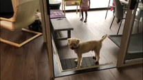 Pies czeka na otwarcie przeszklonych drzwi. Problem w tym, że nie są zamknięte