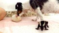 Pies czule sprawujący opiekę nad… skunksami