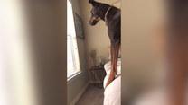 Pies dojrzał wiewiórkę za oknem. Finał?